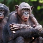 Chimpanzees in Tongo Forest