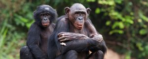 Chimpanzees in Tongo Forest of Democratic Republic of Congo