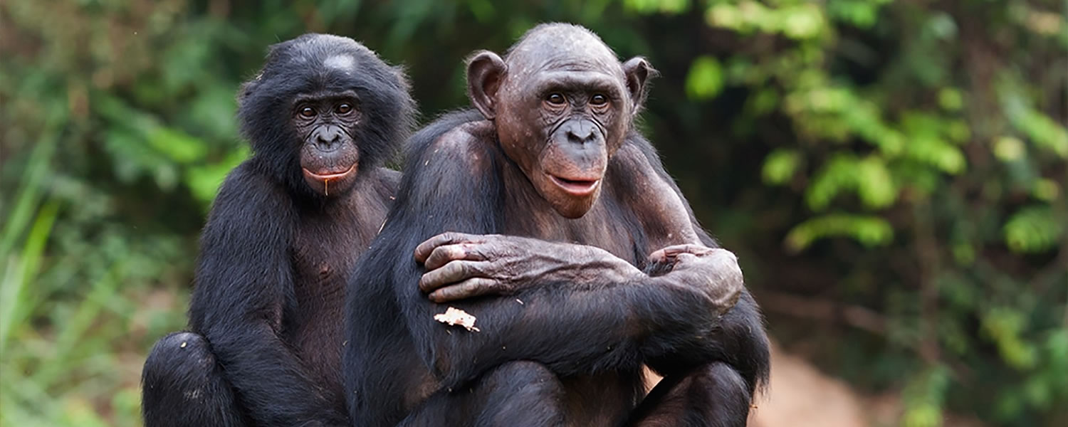 Chimpanzees-in-Tongo-Forest-of-Democratic-Republic-of-Congo
