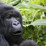 Gorilla Safaris in Democratic Republic of Congo