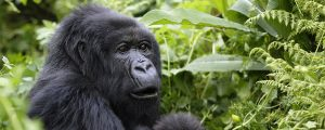 Gorilla Safaris in Democratic Republic of Congo