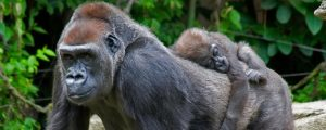 Lowland Gorillas in Kahuzi Biega National Park