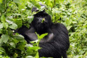 Congo Gorilla Safari