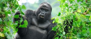 Discounted Congo Gorilla Tours